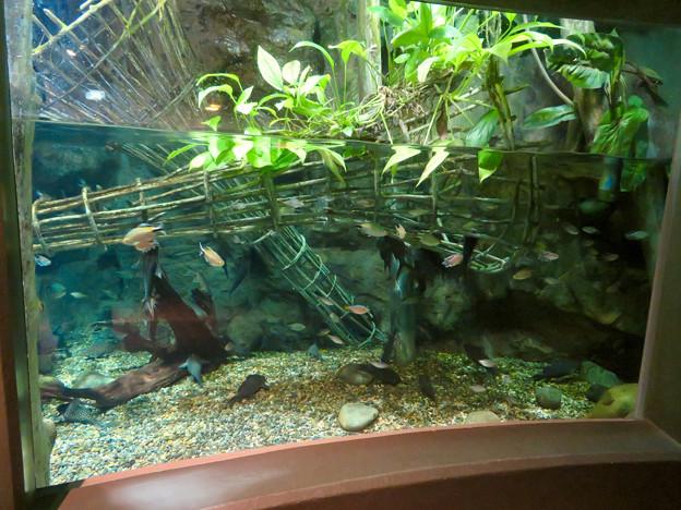 アクア・トトぎふ No - 181:コンゴ川で行われてる独特の漁法