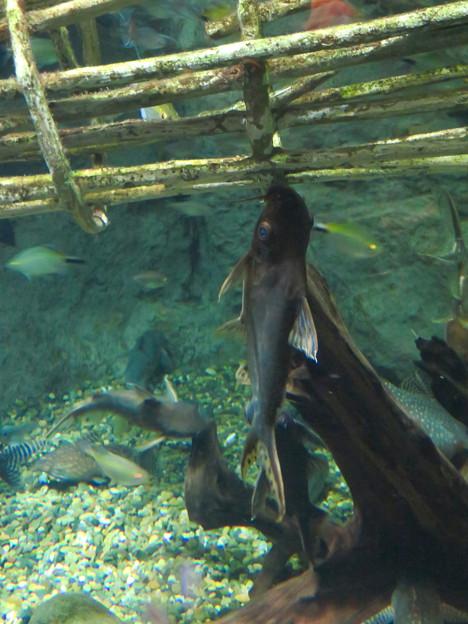 アクア・トトぎふ No - 182:コンゴ川で行われてる独特の漁法