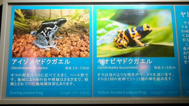 Photos: アクア・トトぎふ No - 203:オスが鳥の様な鳴き声がすると言う「キオビヤドクガエル」他の説明