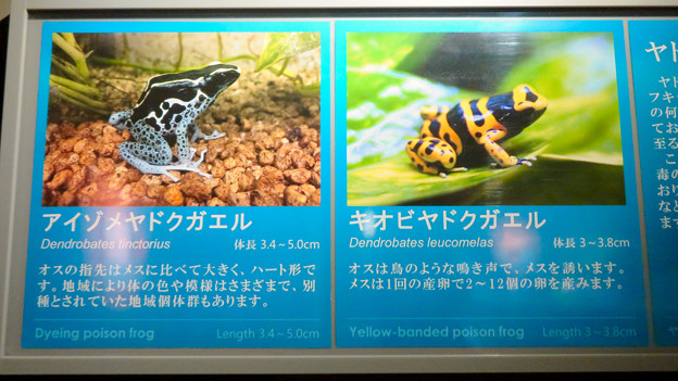 アクア・トトぎふ No - 203:オスが鳥の様な鳴き声がすると言う「キオビヤドクガエル」他の説明