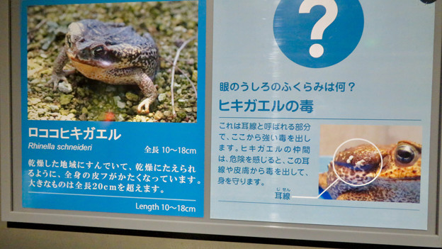 アクア・トトぎふ No - 207:ロココヒキガエルの説明