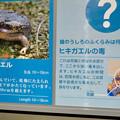 Photos: アクア・トトぎふ No - 207:ロココヒキガエルの説明