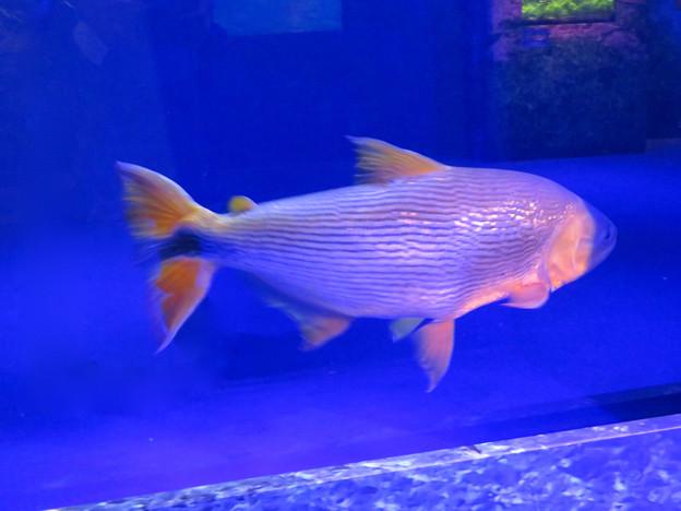 アクア・トトぎふ No - 225:「釣り人のあこがれ」と称されてた「ドラード」と言う魚