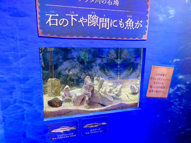 アクア・トトぎふ No - 226:石の下や隙間に隠れてた魚
