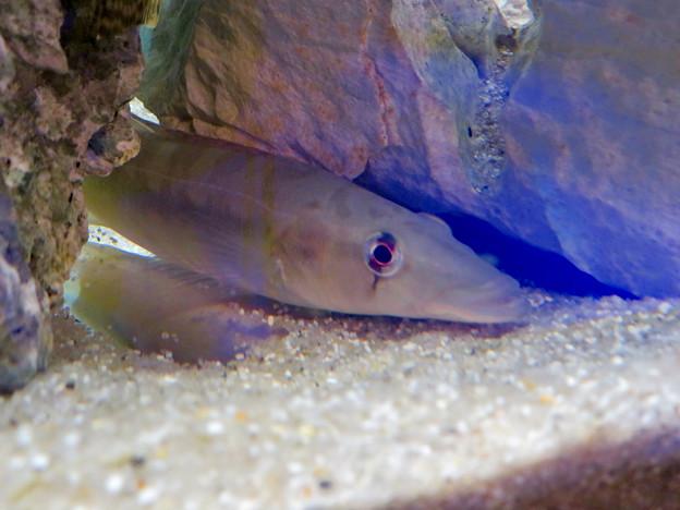 アクア・トトぎふ No - 227:石の下や隙間に隠れてた魚「ジョアニーニャ」