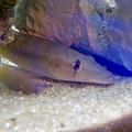 Photos: アクア・トトぎふ No - 227:石の下や隙間に隠れてた魚「ジョアニーニャ」