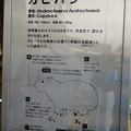 Photos: アクア・トトぎふ No - 236:カピバラの説明