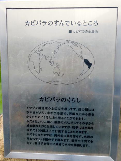 アクア・トトぎふ No - 237:カピバラの説明