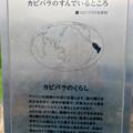 Photos: アクア・トトぎふ No - 237:カピバラの説明