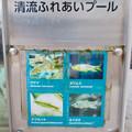 アクア・トトぎふ No - 240:餌やり体験できる水槽の中の魚(ウグイ、カワムツ、アブラハヤ、オイカワ)