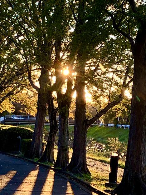 Photos: 木々の間で輝く夕日(2019年11月)- 3