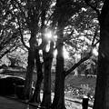 Photos: 木々の間で輝く夕日(2019年11月)- 4:モノクロ