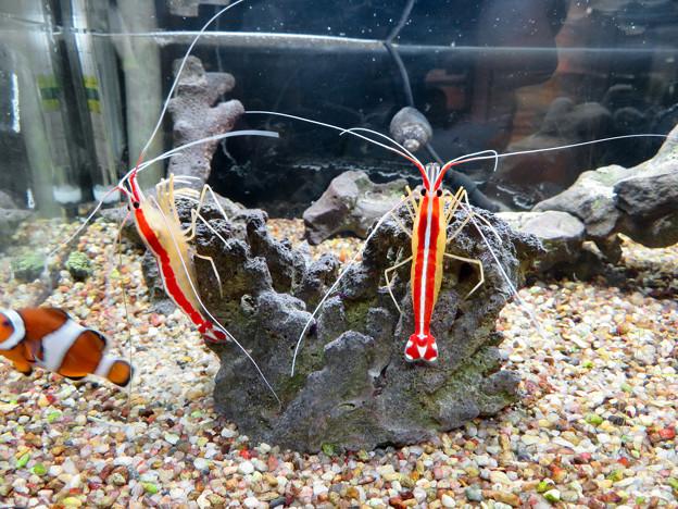 東山動植物園 世界のメダカ館:アカシマシラヒゲエビ - 1