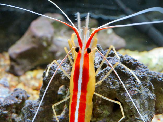 東山動植物園 世界のメダカ館:アカシマシラヒゲエビ - 3