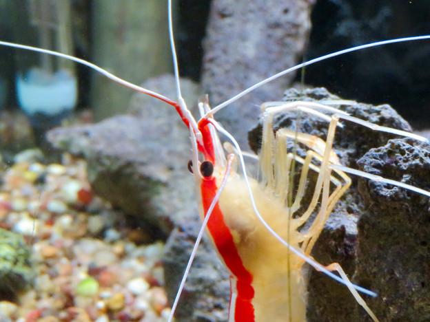 東山動植物園 世界のメダカ館:アカシマシラヒゲエビ - 4