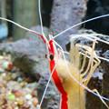 Photos: 東山動植物園 世界のメダカ館:アカシマシラヒゲエビ - 4