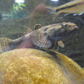 Photos: 東山動植物園 世界のメダカ館:ドンコ - 1