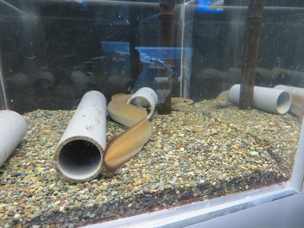 東山動植物園 世界のメダカ館:ニホンウナギ