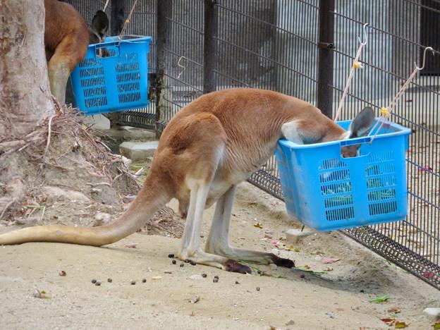東山動植物園:食事中のワラビー
