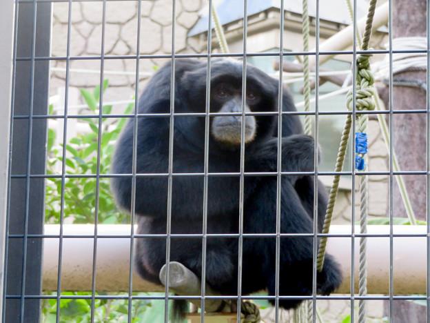 東山動植物園:大人気のフクロテナガザル - 4