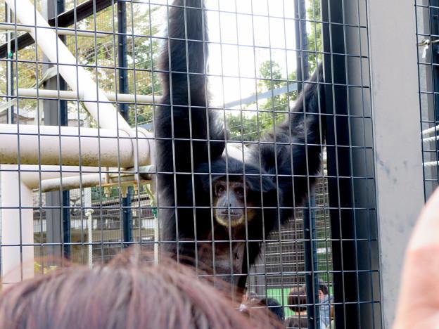 東山動植物園:大人気のフクロテナガザル - 5