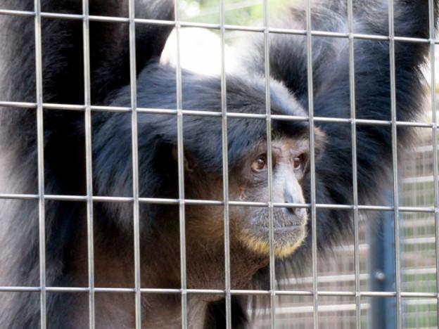 東山動植物園:大人気のフクロテナガザル - 6