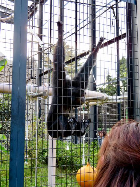 東山動植物園:大人気のフクロテナガザル - 7