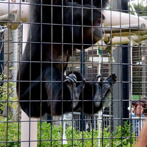 東山動植物園:大人気のフクロテナガザル - 8(檻を掴む足)