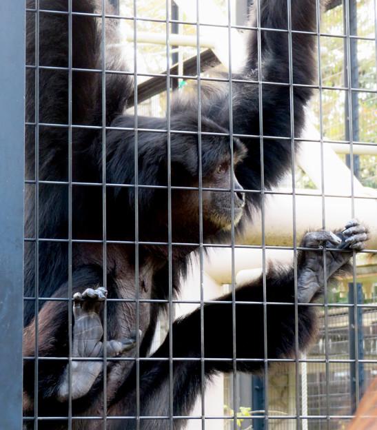 東山動植物園:大人気のフクロテナガザル - 9(檻を掴む足)