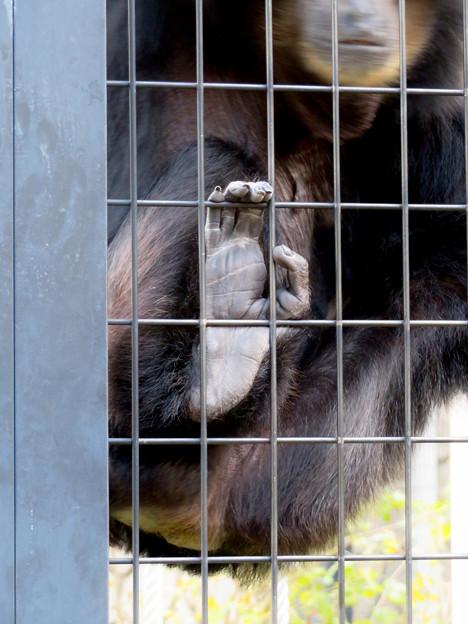 東山動植物園:大人気のフクロテナガザル - 10(檻を掴む足)