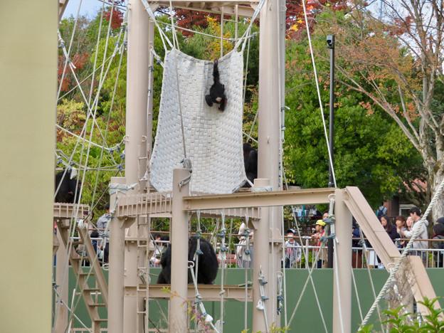 東山動植物園:珍しく外で遊んでたチンパンジー - 1
