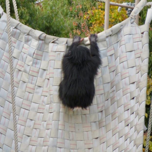 東山動植物園:珍しく外で遊んでたチンパンジー - 2