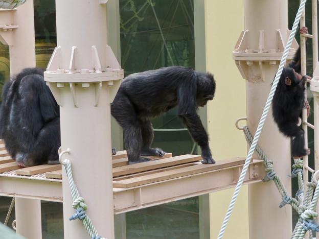 東山動植物園:珍しく外で遊んでたチンパンジー - 4
