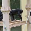 Photos: 東山動植物園:珍しく外で遊んでたチンパンジー - 4