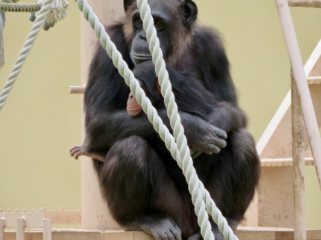 東山動植物園:珍しく外で遊んでたチンパンジー - 5