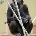 Photos: 東山動植物園:珍しく外で遊んでたチンパンジー - 5