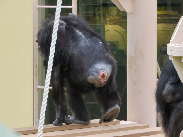 東山動植物園:珍しく外で遊んでたチンパンジー - 6