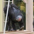 Photos: 東山動植物園:珍しく外で遊んでたチンパンジー - 6