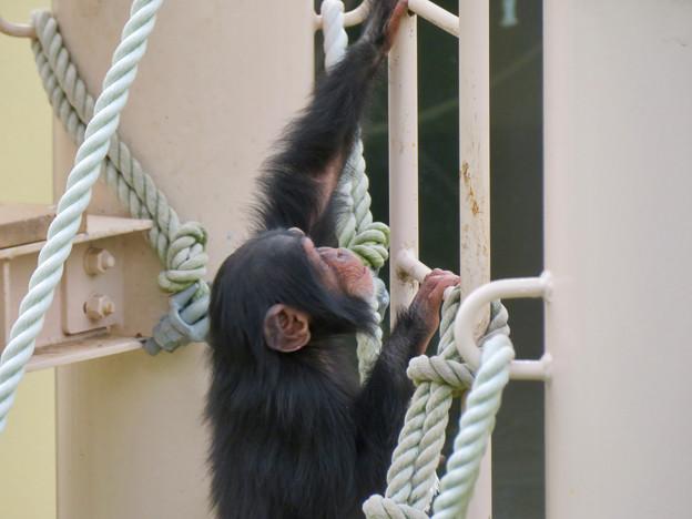 東山動植物園:珍しく外で遊んでたチンパンジー - 7