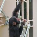Photos: 東山動植物園:珍しく外で遊んでたチンパンジー - 7