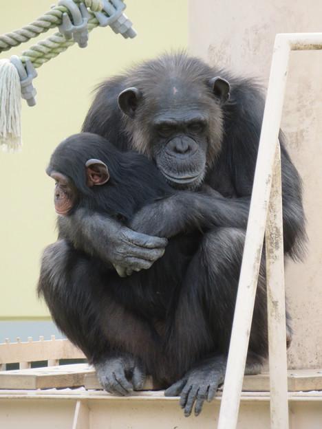 Photos: 東山動植物園:珍しく外で遊んでたチンパンジー - 9