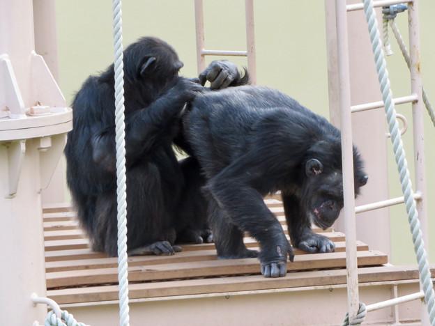 Photos: 東山動植物園:珍しく外で遊んでたチンパンジー - 11