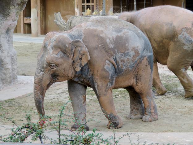 東山動植物園:泥浴びをしたのか泥だらけだったゾウ - 1