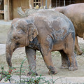 Photos: 東山動植物園:泥浴びをしたのか泥だらけだったゾウ - 1