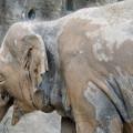 東山動植物園:泥浴びをしたのか泥だらけだったゾウ - 2
