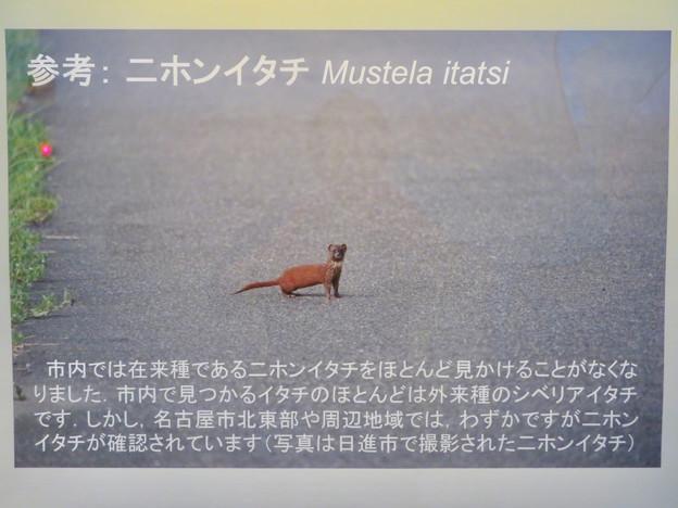 東山動植物園:名古屋市内にいる野生動物 - 1(ニホンイタチ)