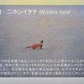 Photos: 東山動植物園:名古屋市内にいる野生動物 - 1(ニホンイタチ)