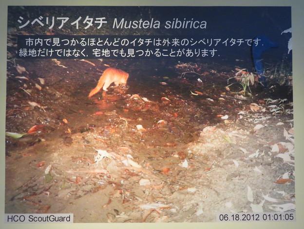 東山動植物園:名古屋市内にいる野生動物 - 2(シベリアイタチ)