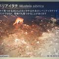 Photos: 東山動植物園:名古屋市内にいる野生動物 - 2(シベリアイタチ)