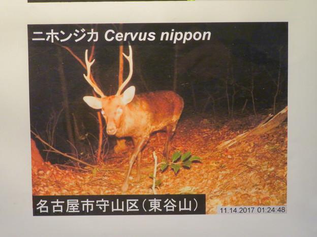 東山動植物園:名古屋市内にいる野生動物 - 4(東谷山に鹿!?)